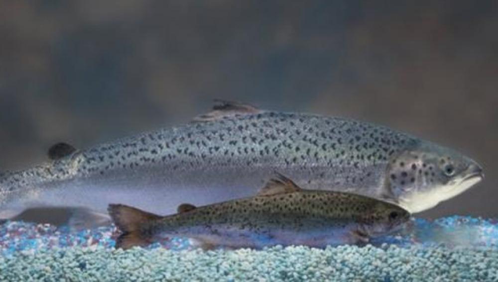 Diferencia entre salmón tradicional y transgénico