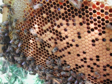 Las abejas podrían estar desapareciendo
