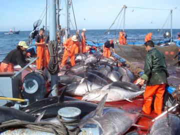 La pesca del atún rojo
