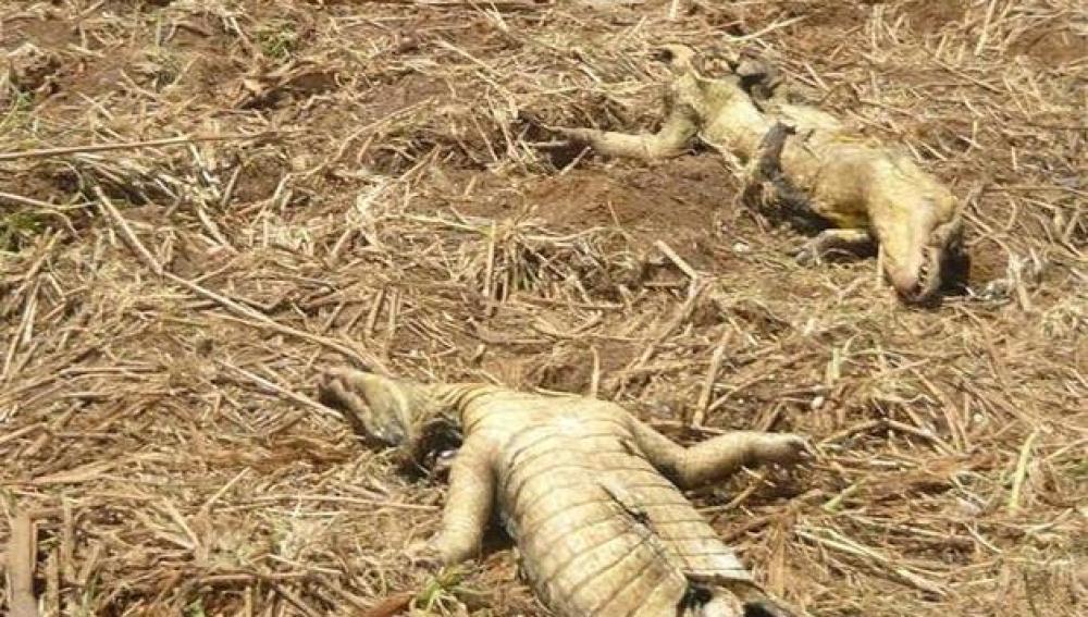Caimanes mutilados en Panamá