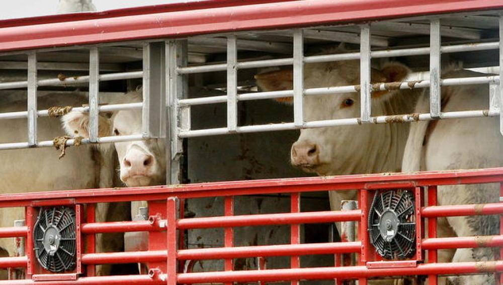 Vacas transportadas