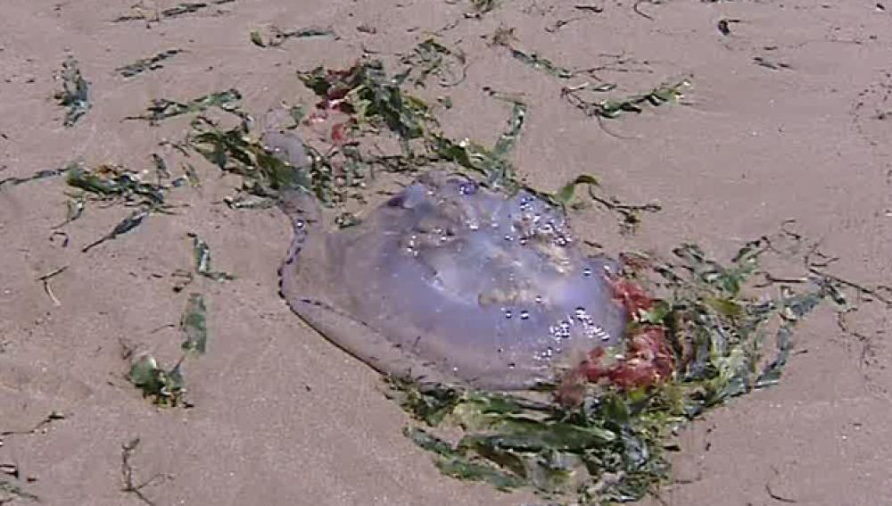 Las medusas alertan a los bañistas en Valencia