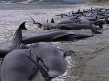 31 ballenas muertas en Nueva Zelanda