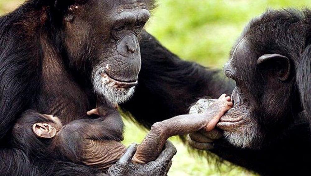 Familia de chimpancés