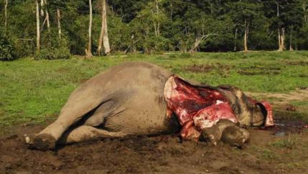 Elefante muerto por el tráfico de marfil