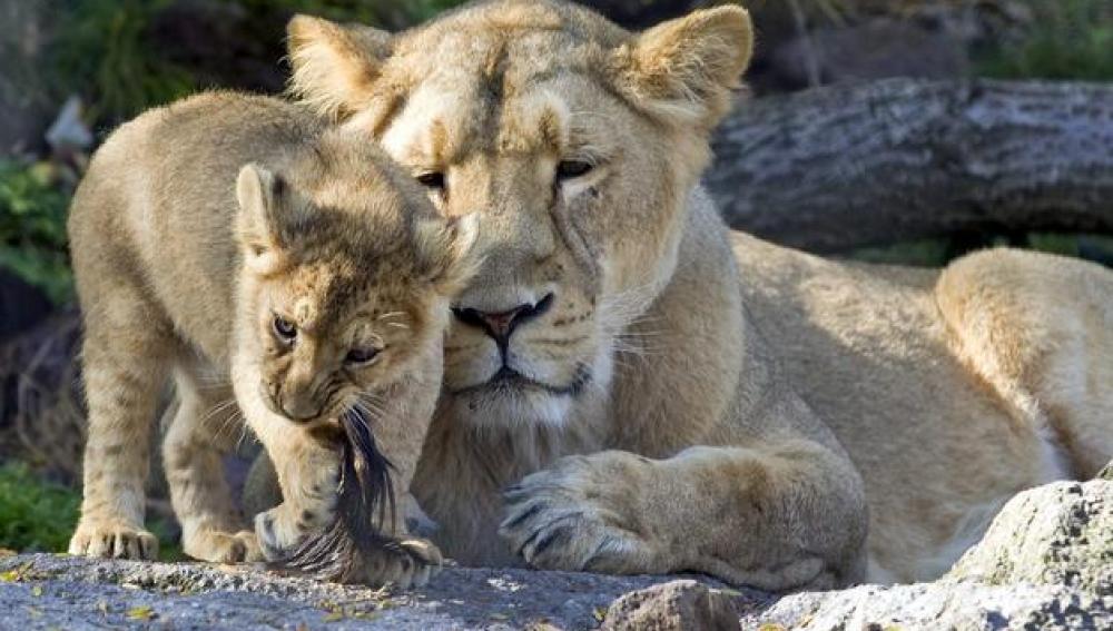Una leona con su cachorro