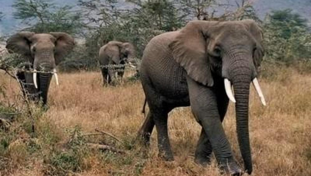 Elefantes en peligro por la caza furtiva