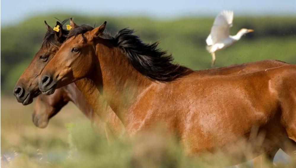 Ejemplares de caballos salvajes Retuertas, una de las razas de equinos más antigua de Europa.