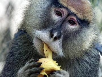 """Un mono """"pata"""" vive en cautiverio, en la casa de un agricultor puertorriqueño."""