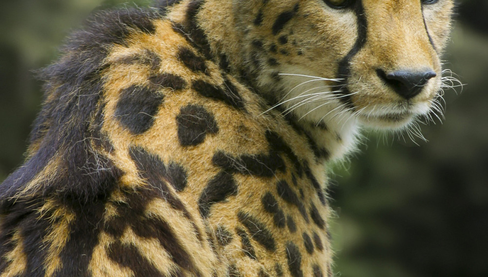 Un guepardo especial (21-09-2012)