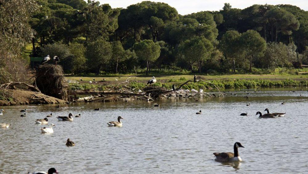Patos en el Espacio Natural de Doñana
