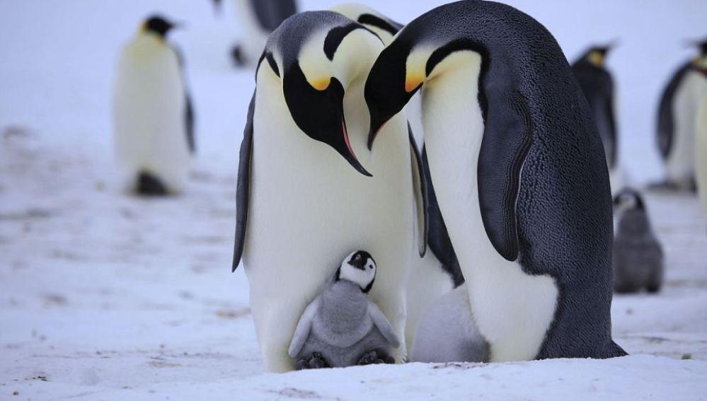 Pingüino con progenitores