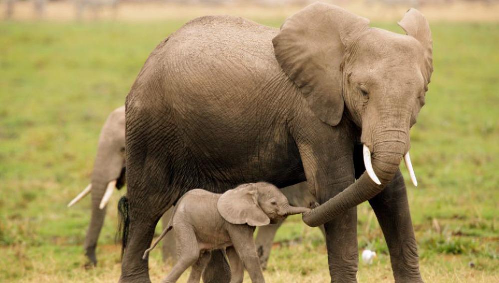 Las cr as de elefantes estresados mueren antes y tienen - Fotos de elefantes bebes ...