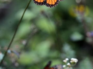 Una mariposa monarca (14-03-2013)