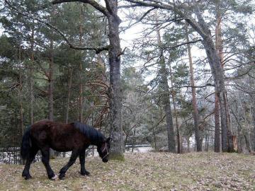 Un caballo en los los Montes de Valsaín, en la Reserva de la Biosfera Sierra de Guadarrama