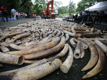 ¡No al comercio de marfil! (21-06-2013)