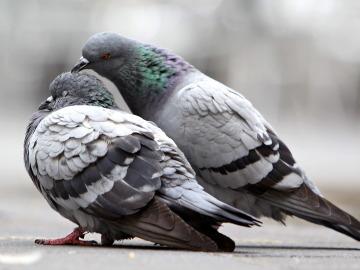 Unas palomas se hacen arrumacos en una calle zaragozana.
