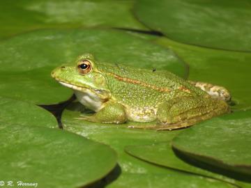 Imagen de un rana