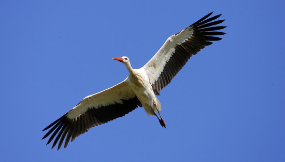 Cigüeña blanca