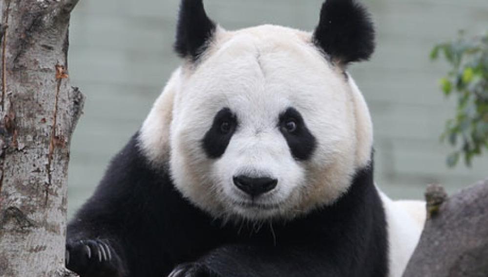 La osa panda Tian Tian.