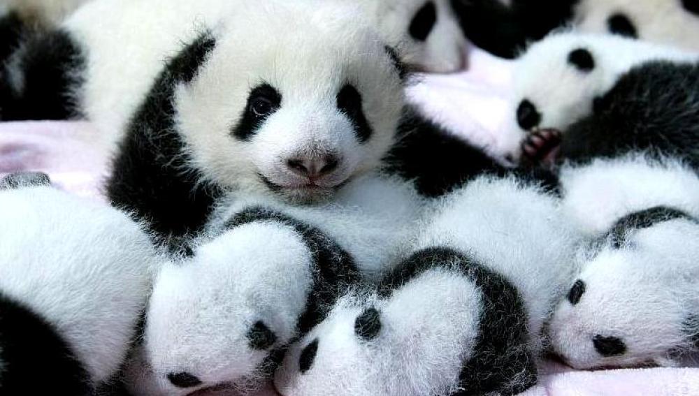Crías de oso panda gigante