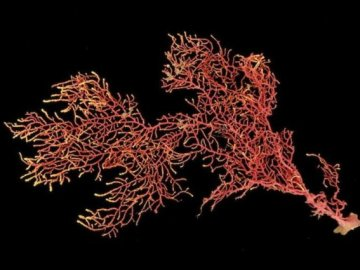 La nueva especie de coral, Eugorgia siedenburgae.