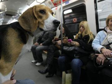 Un beagle en el metro (foto de archivo)