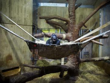 Un gorila en su cesto