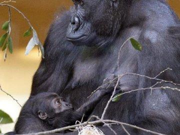 El nuevo gorila que nació ayer en el Parque de la Naturaleza de Cabárceno