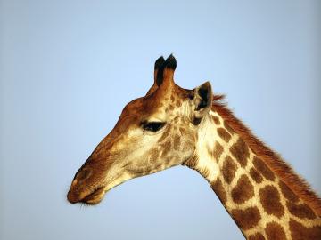 Ejemplar de jirafa