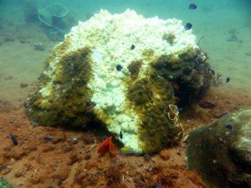 Coral balnqueado por el calentamiento