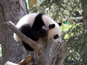 El bebé panda da sus primeros pasos