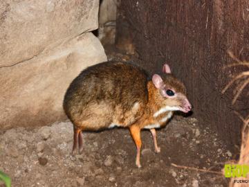El ciervo-ratón más pequeño del mundo