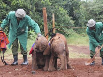 Bebés elefante en el orfanato de Kenia