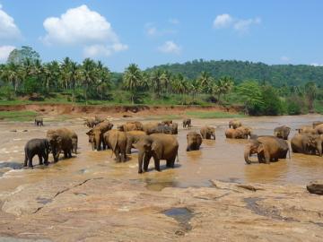 Un orfanato de elefantes en Pinnawela
