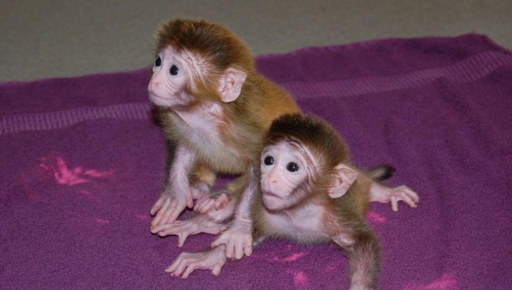 Macacos Rehsus similares a los utilizado