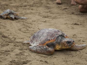 Clasifican 9 especies de cetáceos y 5 de tortugas marinas