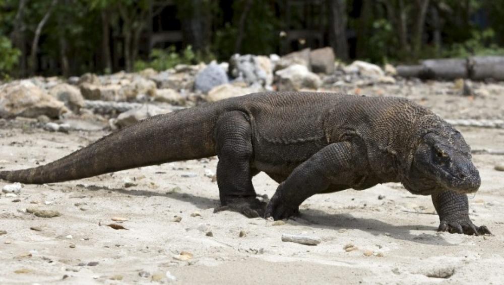 Komodo, la tierra del dragón y otros animales exóticos