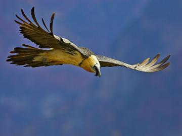 Muere un quebrantahuesos en los Picos de Europa