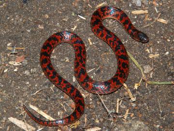 Descubren una nueva especie de serpiente no venenosa en Brasil
