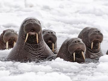 Morsas en el Ártico