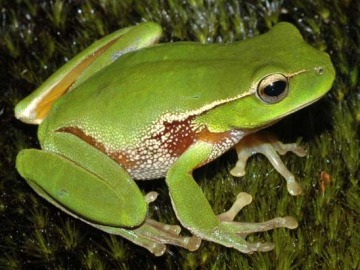 Más de un tercio de los anfibios están en peligro de extinción