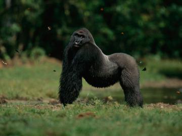 Un gorila de espalda plateada en el Parque Nacional de Odzala-Kokoua