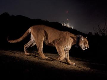 Un puma recorre en Griffith Park, hogar del famoso cartel de Hollywood.
