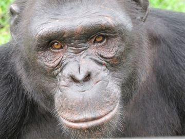 Una subespecie de chimpancé de Africa podría desaparecer antes de 7 años