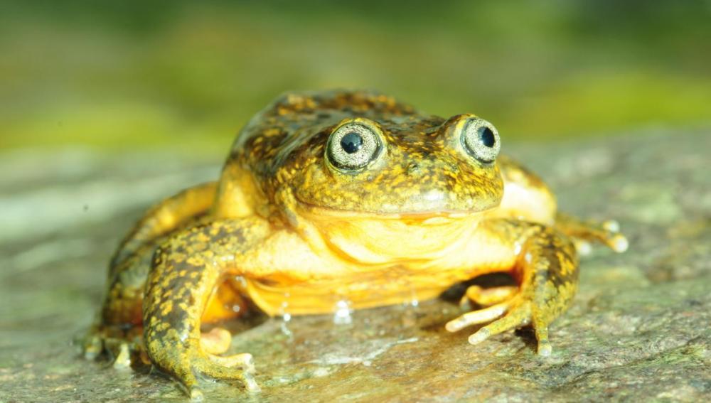 nueva especie de rana descubierta en los Andes de Perú