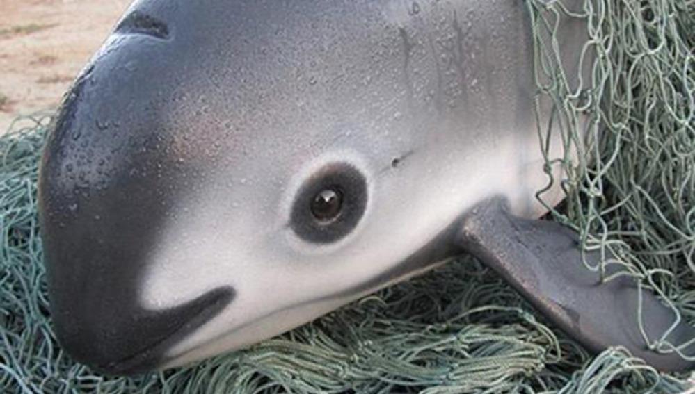 En el mundo solo quedan 20 vaquitas marinas, conoce sobre ellas