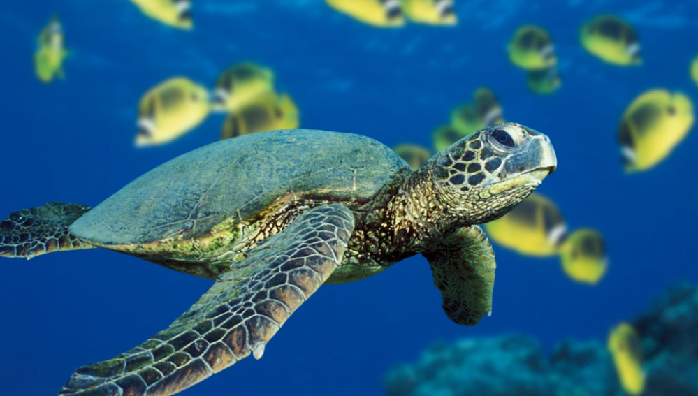 La tortuga verde marina en peligro de extinción