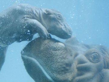 La cría de hipopótamo con su madre