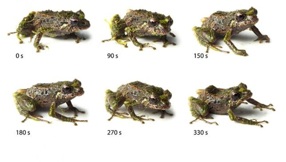 Una rana que cambia de aspecto descubierta en Ecuador
